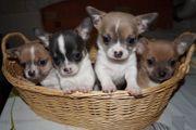 Reinrassige Chihuahua welpen zu verkaufen