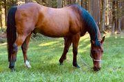 Pflegebeteiligung für Pferdesenior gesucht