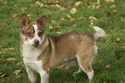 Lord, Corgi Terrier