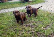 Labrador Welpen choco