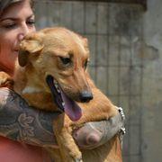 Rebecca, Bracke-Schäferhund-
