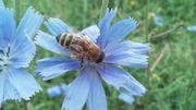 Verkaufe Bienenvölker aus