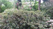 große rotblühende Azalee