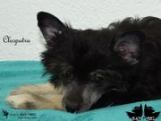 Chinese Crested ~ Cleopatra~