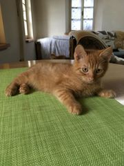 Sehr anhängliche Katze Sibirische