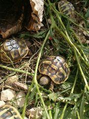 landschildkröten Schildkröte Testudo