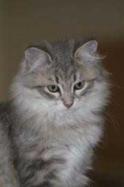 Sibirische Katzen zu