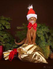 Abessinier Kitten mit