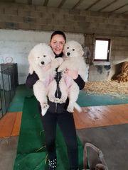Maremmano Welpen mit Papiere Herdenschutzhunde