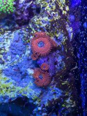 Korallenableger Meerwasser Koralle