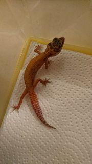 leopardgeckos NZ aus