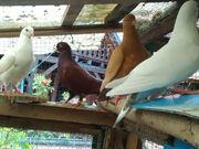 Hubbel Tauben