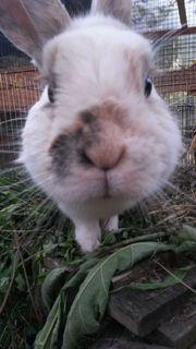 Kaninchen Weibchen 7J