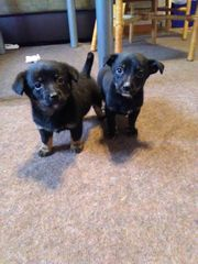 Welpen aus Dackel und Chihuahua