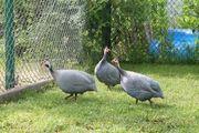 Perlhühner, azurblau und