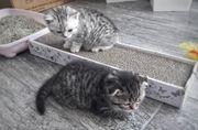 Reinrassige BKH Katzenbabys