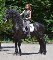 Traum friesischer Pferdelachs