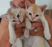 Burma Kitten reinrassig