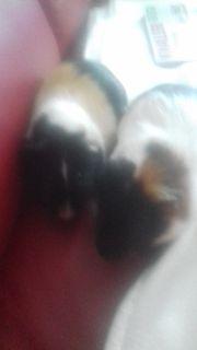 2 Meerschweinchen