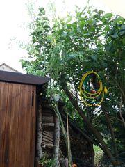 Weidenbaum Korkenzieherweide zu verkaufen 3