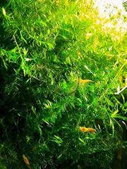 Willowmoos, Aquariumpflanzen, (Versand)
