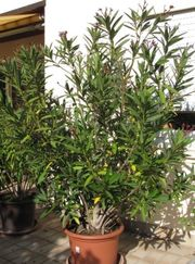 Oleander mit Topf,