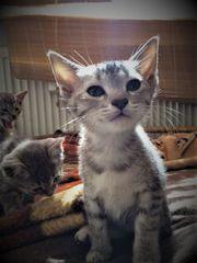Kitten Siam-Mix Katzenbabies