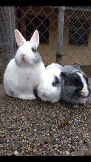 Zwergkaninchen Kaninchen w m 2