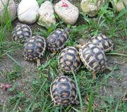 kleine Breitrandschildkröten