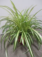Zimmerpflanze Hoya, Dickblatt,