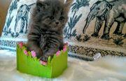 BKH / BLH Kätzchen
