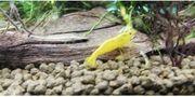 Yellow Fire Garnelen