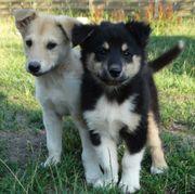 Zauberhafte Husky / Collie
