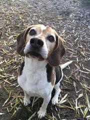 Lieber Beagle Opa hoffe auf