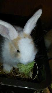 Weissohr Kaninchen