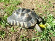 Breitrandlandschildkröte, Marginata geb.