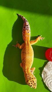 Leopardgeckos abzugeben