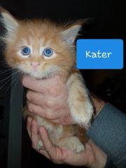 wunderschönen Maine Coon Kitten suchen