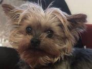 VICI Yorkshire Terrier - die winzige