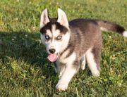 Siberian-Husky-Welpen aus FCI VDH