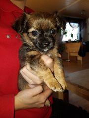 Süße Chihuahua Mischlinge