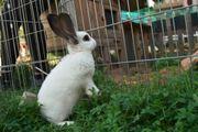 Kaninchen Lena ca.