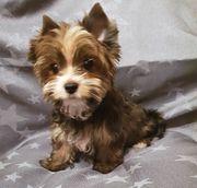 Mini Biewer Yorkshire Terrier Rüde