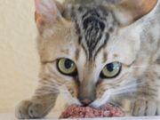 Bengal Katze 10