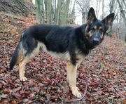 2 Reinrassige Deutsche Schäferhunde zu
