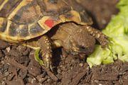 Landschildkröten Thb NZ 2016 u