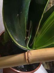 Phelsuma nigristriata März/