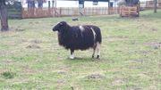 Schafe, Jacobsschaf / Gotland