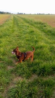 Süßer Chihuahua sucht