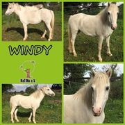 Windy - Welsh A